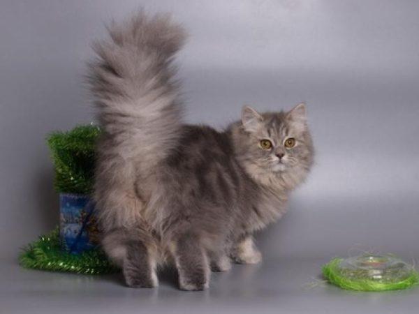 Кошка породы хайленд-страйт без дефектов