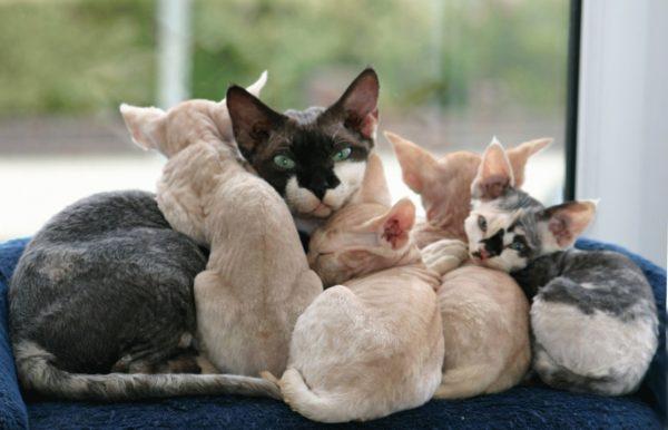 Лучше всего приобретать котят у проверенных заводчиков., так как в данном случае вы не переплачиваете, а покупаете гарантию здоровья для вашего питомца