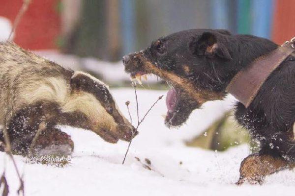 Барсук - слишком сильный соперник для молодого пса