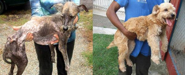 Бездомная собака до и после лечения