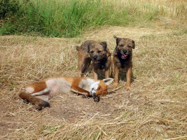 Бордер-терьеры и пойманная лиса