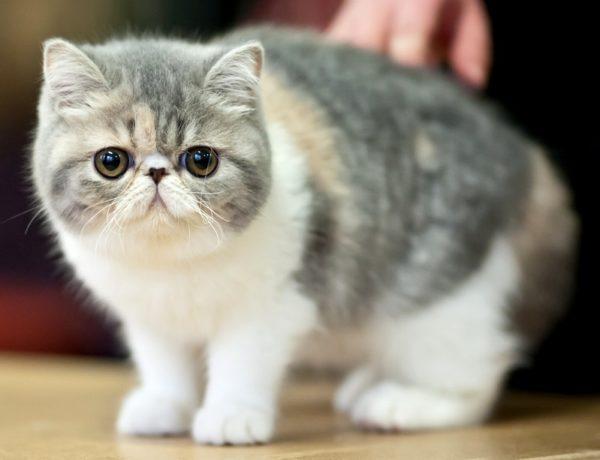 В современном мире экзотические коты могут иметь абсолютно любой оттенок, начиная от однотонных и заканчивая различными примесями
