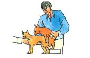 Вязка маленьких собак