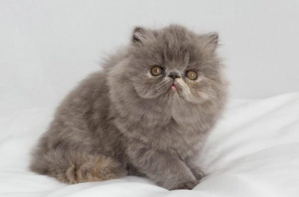 Длинношерстного экзотического кота практически невозможно отличить от перса