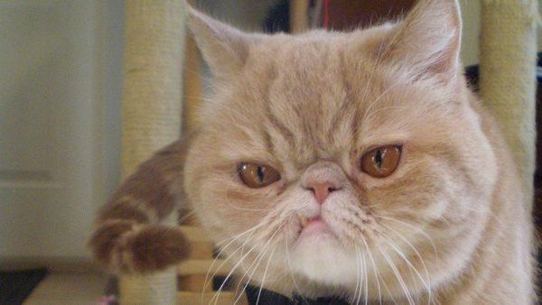 Экзотическая кошка с деформированной нижней челюстью