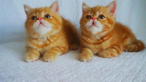 Маленькие длинношерстные экзотические коты впоследствии могут оказаться персами
