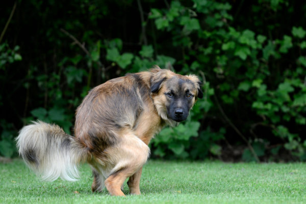 Дозировка препарата «Энтерофурил» при поносе у собаки