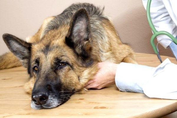 Диарея у собаки может возьникнуть на фоне стресса