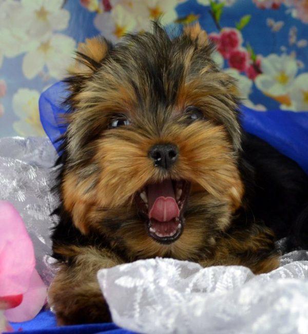 Проследите,чтоб щенок не начал вести себя агрессивно
