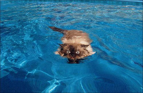 Усатые питомцы не только хорошо охотятся, но и отлично плавают