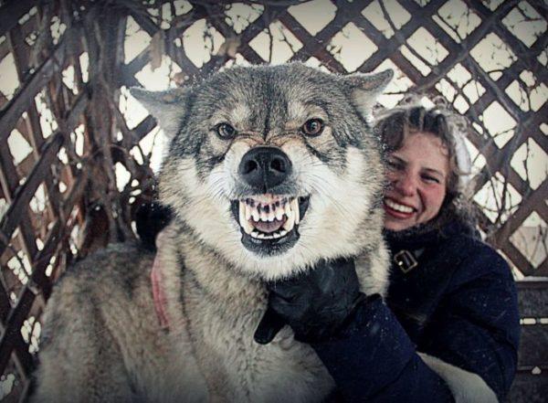 Гибрид волка и собаки имеет мощную хватку, которую практически невозможно расцепить