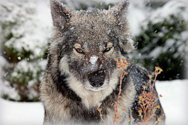 Волкособ перенял от своих диких предков все лучшие качества