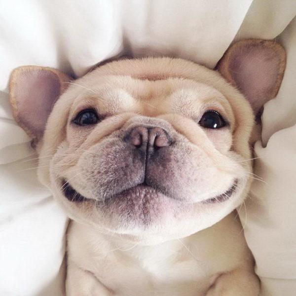 Некоторые хозяева французских бульдогов утверждают, что их питомцы улыбаются, когда им все нравится.
