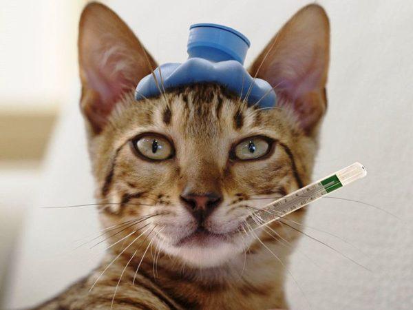 Симптоматику данной болезни необходимо тщательно изучить ради того, чтобы вовремя идентифицировать недуг, и излечить его, дав животному шанс на спасение