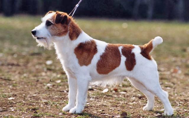 Как выбрать правильно щенка Джек Рассела терьера и как за ним ухаживать