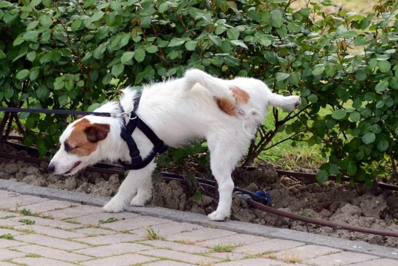 Как собрать мочу у собаки на анализ?