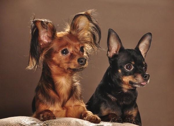 Гладкошерстная собака таит в себе некоторые преимущества