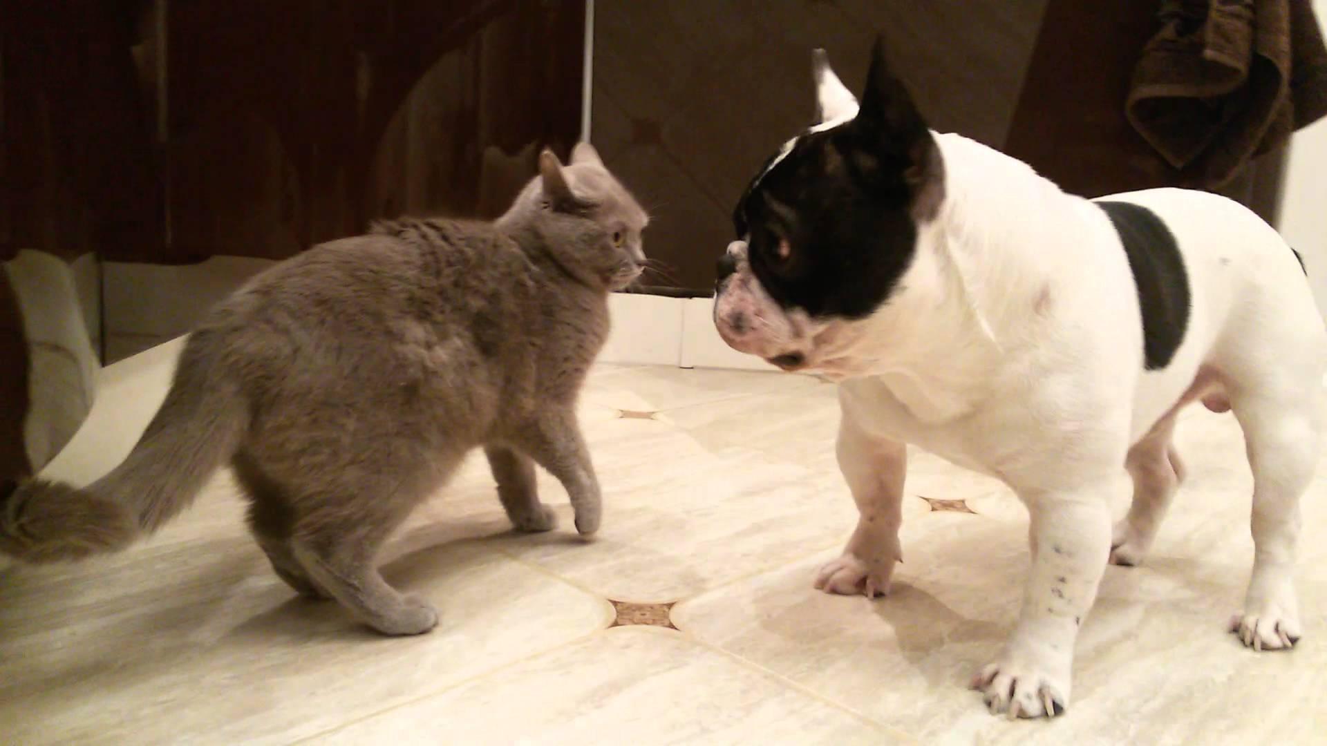 {amp}quot;Французик{amp}quot; не потерпит присутствие в дома другого животного.