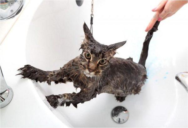 Какие кошки любят воду?