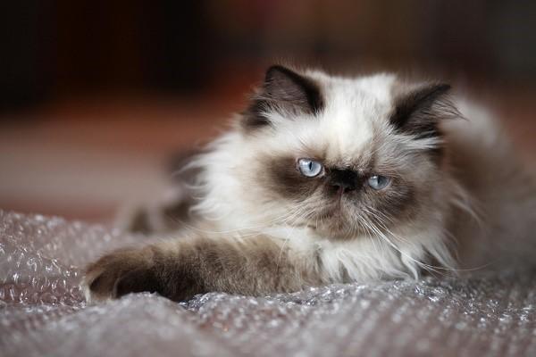 Гималайская кошка - животное, которое может стать вашим компаньоном на долгие годы