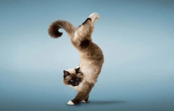 Как дрессировать кошку, чтобы добиться успехов?