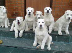 10-месячный щенок