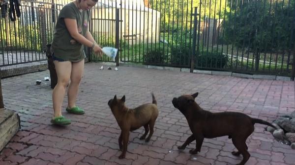 Содержать данных собак лучше всего на приусадебной территории