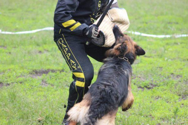 Овчарки проходят обучение разной степени интенсивности