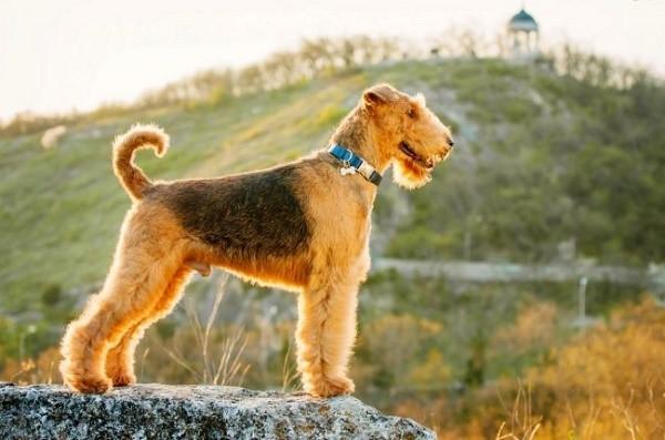 Существуют правила ухода за эрдельтерьером, избегая выполнения которых, вы не сможете обеспечить собаке достойный уход