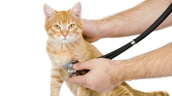 При обнаружении одного из симптомов следует показать питомца ветеринару