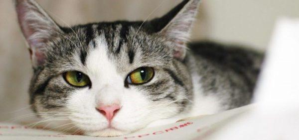 Если кошка почувствовала себя плохо после обработки, нужно везти её в клинику