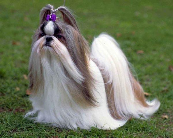Ши-тцу — любимая собака китайских императоров