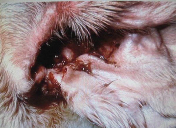 Обильные выделения с неприятным запахом – повод навестить ветеринара