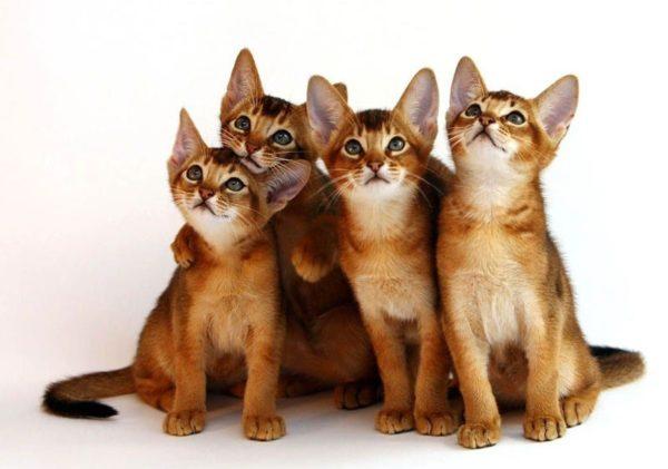 Какие кошки проще поддаются обучению?
