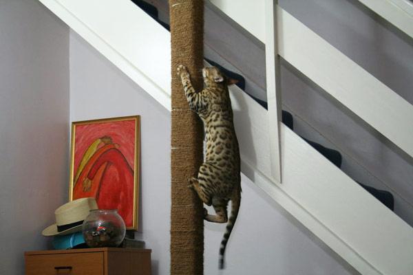 Бенгальская кошка любит лазить на возвышенности