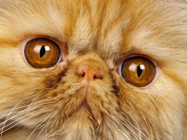 Персидским кошкам необходим особый офтальмический уход