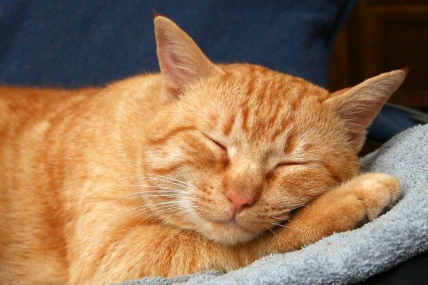 Рыжие коты считаются домоседами