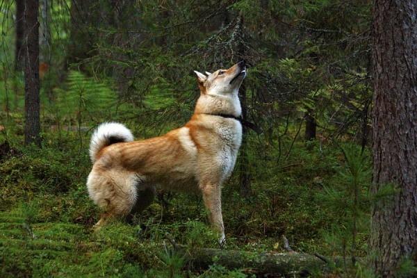 Лайка должна работать в тандеме с охотником