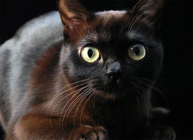 Кошку нельзя часто купать, чтобы не испортить шерсть