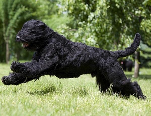 Грация и сила - идут рука об руку в этой собаке