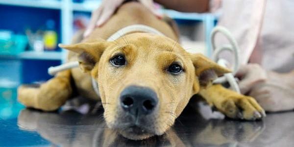 Вывести животное из тяжелого состояния поможет капельница с раствором глюкозы