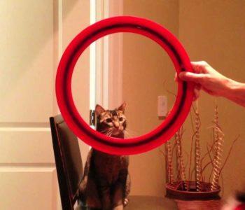 Постепенно кошка научится прыгать высоко