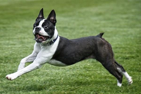 Бостон-терьеры - собаки не только красивые, но и веселые, прекрасно поддающиеся командам
