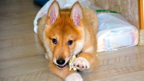 Воспитание щенка – важный процесс, который запускается с первых дней знакомства собаки и хозяина