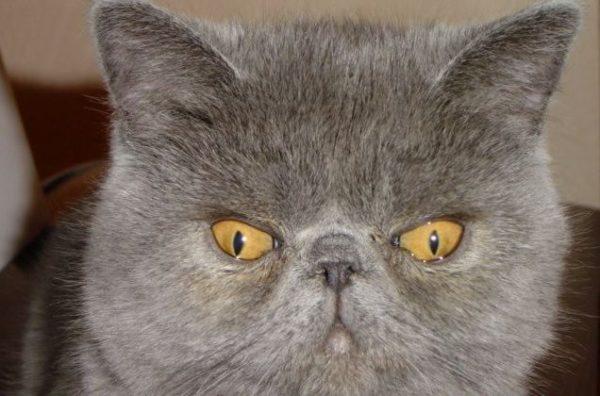 Косоглазый кот экзот