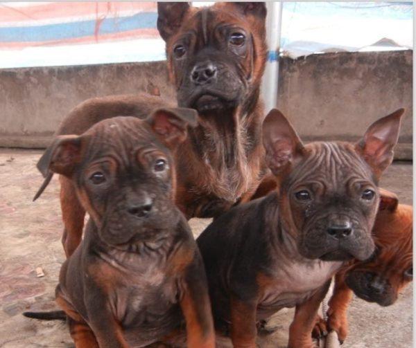Эти прекрасные собаки стоят действительно дорого