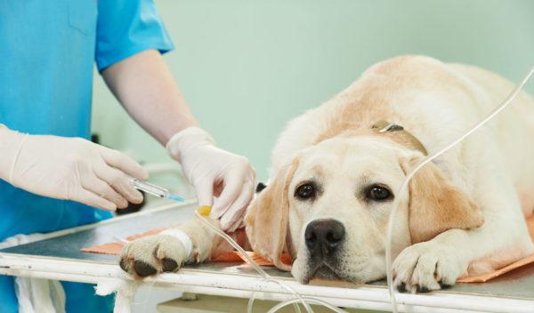 При интоксикации организма собаке ставят капельницу