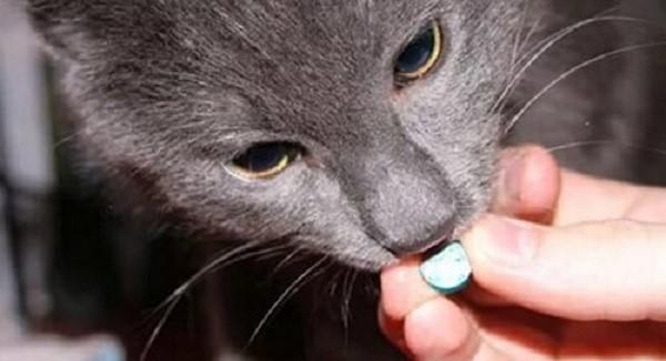 Прежде, чем назначать коту лечение, вы должны пройти обследование у ветеринарного врача