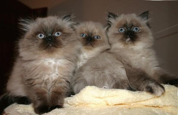 Кошки данной породы стоят недорого по сравнению с менее распространенными породами, но и не дешево для кошелька обычного жителя России