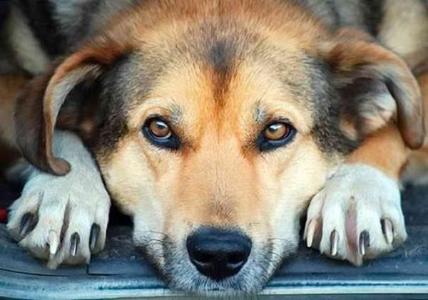 Прогнозы для страдающих искомой болезнью собак могут быть разными